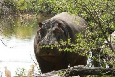 Why Do You Never See Hippos Hiding in Trees?